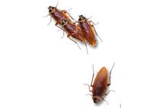 Cockroaches on Desktop(桌面蟑螂) V1.1 绿色版